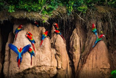 Macaw clay lick Peru jungle tours 3 Days